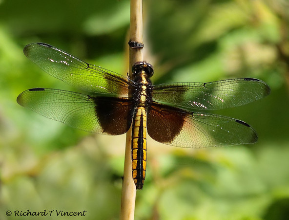 Widow Skimmer-female