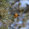 Monarch in the Pines