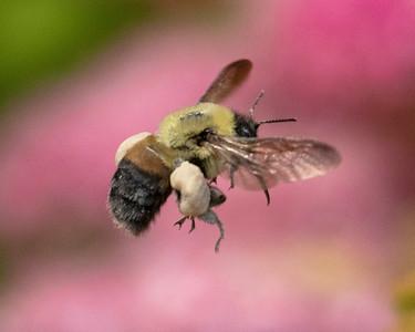 Bumble Bees pollinating
