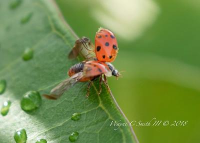 Again Lady Bug