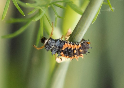 Lady Bug Larvae Eating Swallowtail Butterfly Eggs on Dill