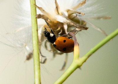 Seven Spotted Lady Bug