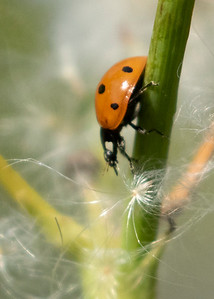Seven Spotted Lady Bug/Beetle