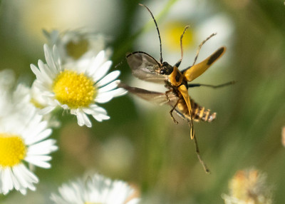 Margined Leatherwing Beetle