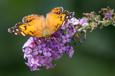 Male American Lady Butterfly on Butterfly Bush