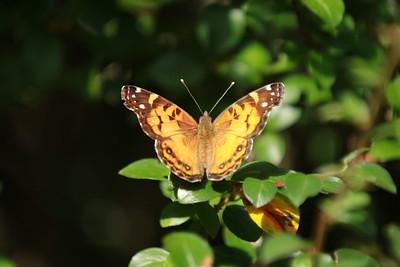Female American Lady Butterfly