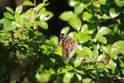 Male American Lady Butterfly