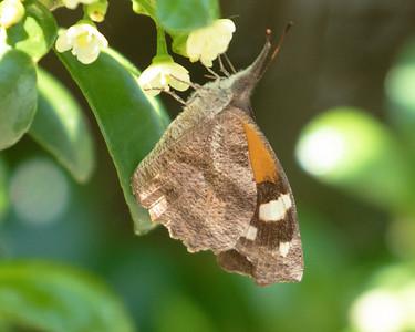 American Snout Butterfly