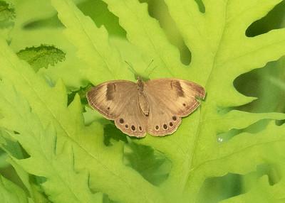 Male Appalacian Brown Butterfly Resting on Ferns