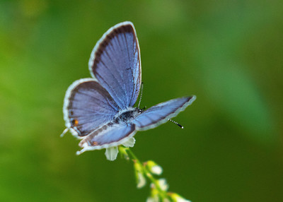 Female  Eastern Tailed-Blue Butterfly