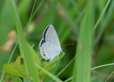 Male Eastern Tailed Blue Butterfly