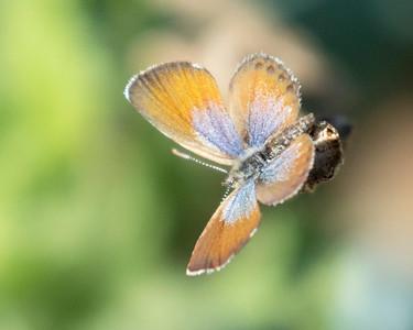 Pygmy Blue Butterfly