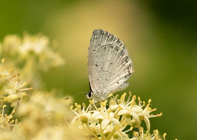 Small Blue Butterfly cupido minimus