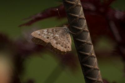 Female Hackberry Emperor Butterfly