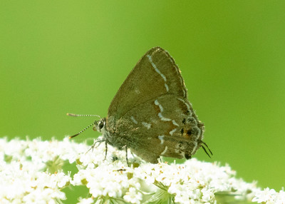 Juniper Hairstreak Butterfly Feeding on Queen Ann's Lace
