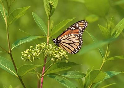 Monarch Butterfly on Butterfly Bush