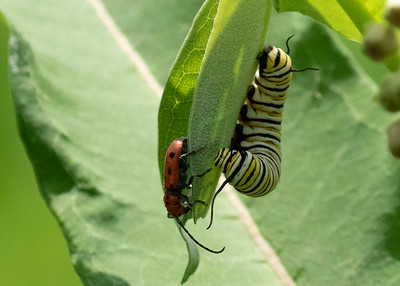Monarch Caterpillar and Red Milkweed Beetle