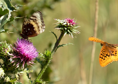 Morning Cloak & Atlantis Frillitary in Mountain Meadow of Wasatch Mountains Morningcloak Butterfly