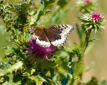 Morningcloak Butterfly