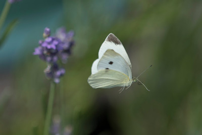 Female Cabbage White Butterfly