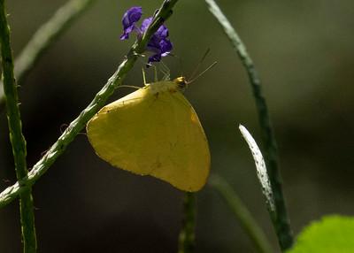 Hawaiian Yellow Sulpher Butterfly