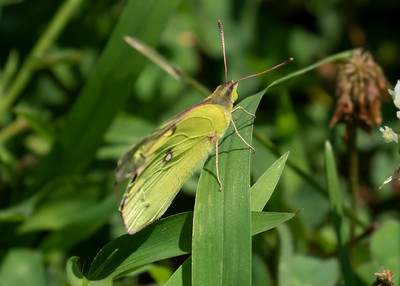 Yellow Sulpher Butterfly