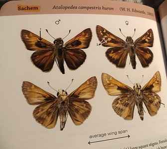 Sachem Butterflies Enjoying Summer