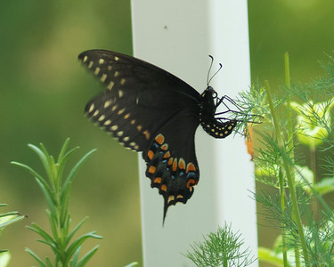 Female Swallowtail Laying Eggs