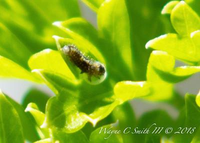 Swallowtail eggs