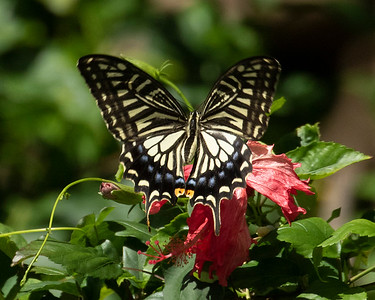 The Hawaiian Yellow Swallowtail Butterfly