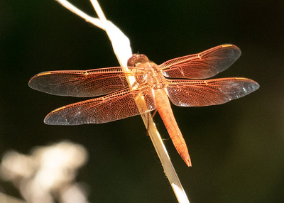 Red Veined Darter