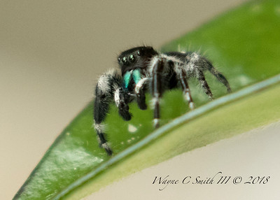 Black Jumping Spider with green fangs and 8 eyes
