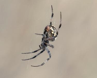 Orb Spider Antelope Island UT