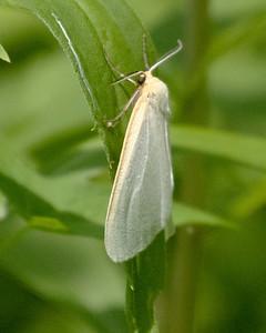 White Satin Moth in Sunny Field