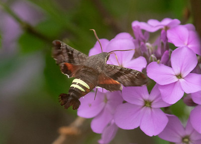 Hummingbird Moth, in Spring