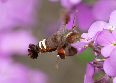 Hummingbird Moth, in Spring