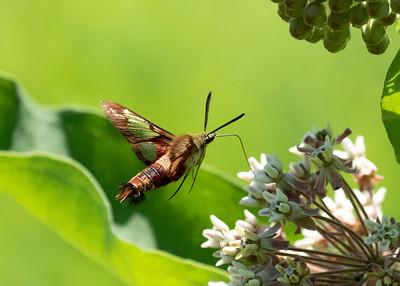Clearwing Hummingbird Moth Feeding on Milkweed