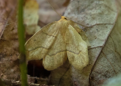 Oak Besma Moth