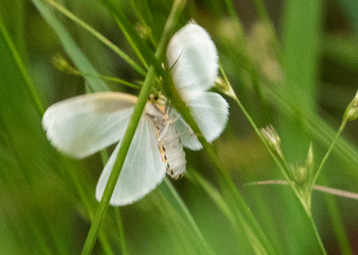 White Satin Moth on Forest Path
