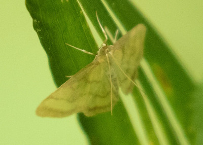 Forest Moth
