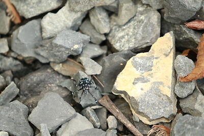 Spotted Lantern Fly, first inset phase