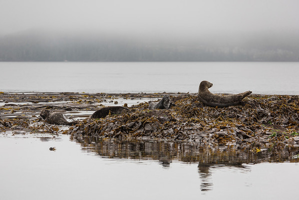 Seals amongst Kelp.