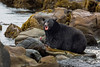Black Bear enjoying freshly caught salmon.