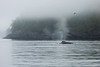 Humpback whale breathing on a cloudy west coast morning.