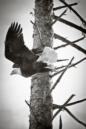 Immature Bald Eagle in monochrome.