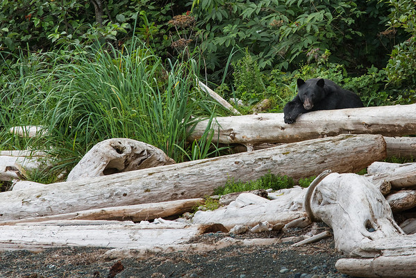 Black bear resting on logs.