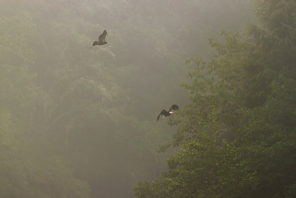 Bald Eagles in the mist.