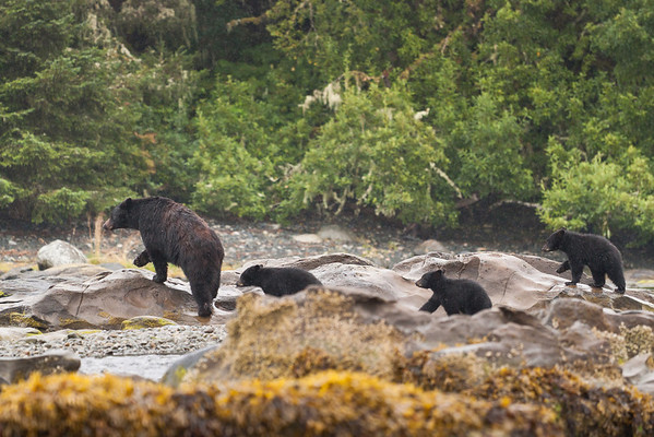 Mother Black Bear with three cubs in tow.