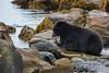 Black Bear enjoying freshly caught salmon.