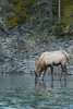 Roosevelt Elk drinking from river